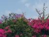 Maltas Farbenpracht - pink