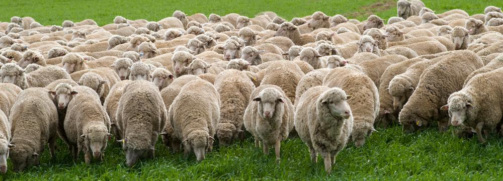 Merino-Schafe auf der Weide