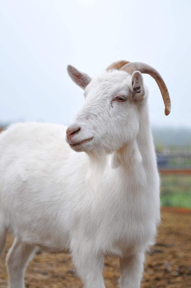 Kaschmirziege weiß