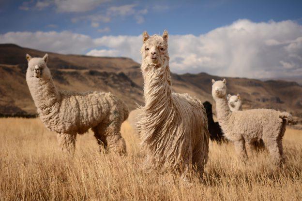 Beitragsbild Alpakas in ihrer natürlichen Umgebung